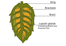 2000px-Cross-section_of_hop_cone.svg