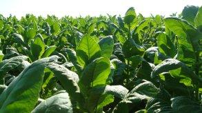 Live Tobacco Plants